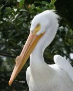 American White Pelican - Bird Species | Frinvelis jishebi | ფრინველის ჯიშები