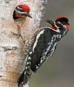Red-naped Sapsucker - Bird Species | Frinvelis jishebi | ფრინველის ჯიშები