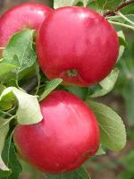 Redfree | Apple Species