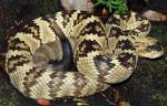 BLACK-TAILED RATTLESNAKE <br /> Crotalus molossus - snake species list a - z | gveli | გველი