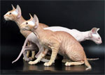 Peterbald | Cat | Cat Breeds