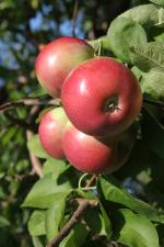 Rogers Red McIntosh | Apple Species