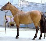 Argentine Criollo Horse | Horse | Horse Breeds