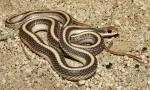 Salvadora hexalepis virgultea - Coast Patch-nosed Snake - snake species list a - z | gveli | გველი