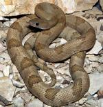 Bogertophis subocularis subocularis  - Trans-Pecos Ratsnake - snake species list a - z | gveli | გველი