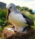 Yellow-nosed Albatross  - Bird Species | Frinvelis jishebi | ფრინველის ჯიშები