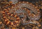GOPHERSNAKE  Pituophis catenifer - snake species list a - z | gveli | გველი