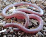 WESTERN THREADSNAKE <br /> Leptotyphlops humilis | Snake Species
