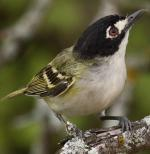 Black-capped Vireo - Bird Species | Frinvelis jishebi | ფრინველის ჯიშები