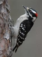 Downy Woodpecker - Bird Species | Frinvelis jishebi | ფრინველის ჯიშები