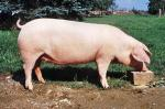 German Landrace | Pig | Pig Breeds