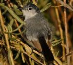Black-tailed Gnatcatcher - Bird Species | Frinvelis jishebi | ფრინველის ჯიშები