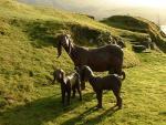 Damascus Goats - Goats Breeds | txis jishebi | თხის ჯიშები