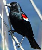 Tricolored Blackbird - Bird Species | Frinvelis jishebi | ფრინველის ჯიშები