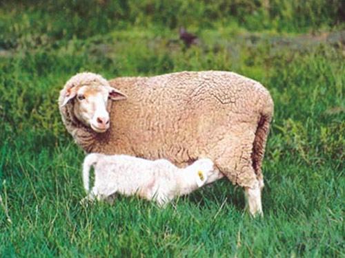 Afrino 1 羊圖片