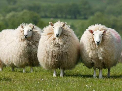 Three sheep - photo#13