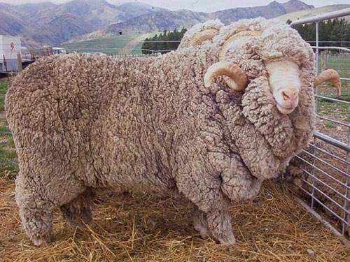 Dohne Merino Ram Ewes Lamb