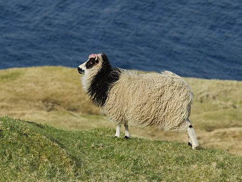 法罗群岛羊
