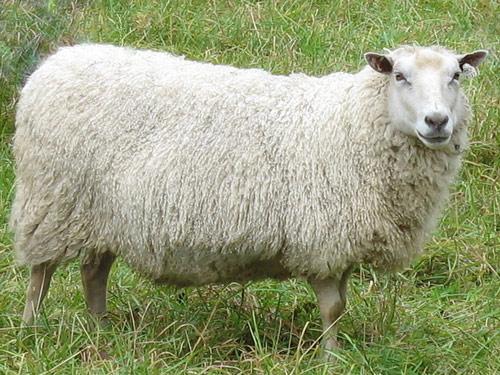 Stamboek schapen