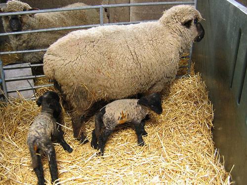 Oxford sheep