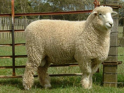 گوسفند نژاد رامنی (Romney sheep)