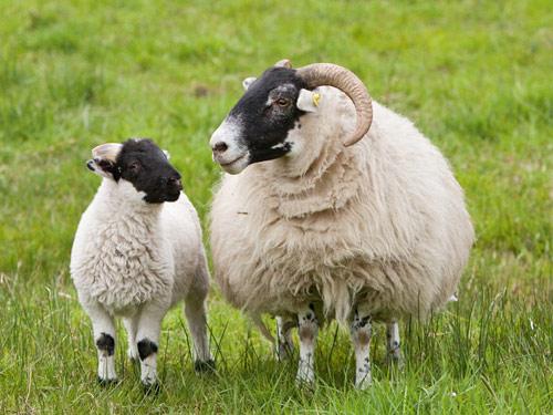 scottish blackface ram ewes lamb