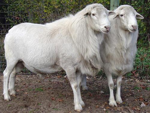 Картинки баранов и овец