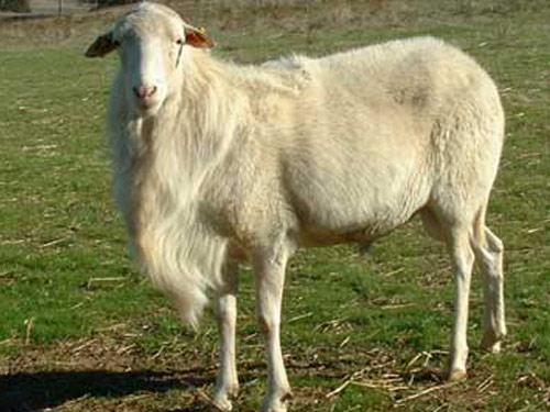 St. Croix (Virgin Island White) schapen Foto