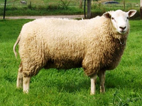 Swifter Ram Ewes Lamb