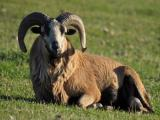 American Blackbelly sheep - cxvris jishebi