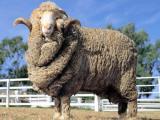 Australian Merino  sheep - cxvris jishebi