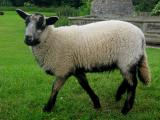 Badger Face Welsh Mountain  sheep - cxvris jishebi