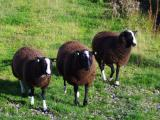 Balwen Welsh Mountain  sheep - cxvris jishebi