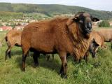 Barbados Blackbelly  sheep - cxvris jishebi
