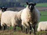Beulah Speckled-Faced sheep - cxvris jishebi
