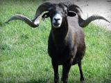 Black Hawaiian  sheep - cxvris jishebi