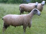Bluefaced Leicester  sheep - cxvris jishebi