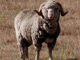 Booroola Merino  sheep - cxvris jishebi