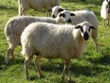 Churra  sheep - cxvris jishebi