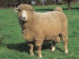 Corriedale  sheep - cxvris jishebi