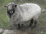 Cotswold  sheep - cxvris jishebi
