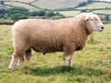 Devon Closewool  sheep - cxvris jishebi