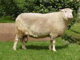 East Friesian  sheep - cxvris jishebi