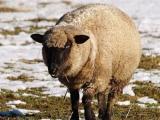 German Blackheaded Mutton  sheep - cxvris jishebi
