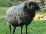 German Gray Heath  sheep - cxvris jishebi