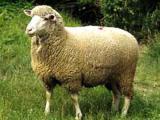 German Merino  sheep - cxvris jishebi