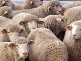 German Mutton Merino  sheep - cxvris jishebi