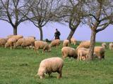 German Whiteheaded Mutton  sheep - cxvris jishebi