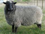 Gotland  sheep - cxvris jishebi