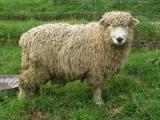Greyface Dartmoor  sheep - cxvris jishebi
